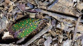 Lanternflies Beautiful, Lantern Bugs, Fulgoridae Royalty Free Stock Image