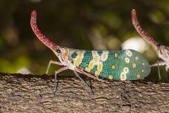 Lanternflies bug Royalty Free Stock Photography