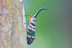 Lanternflies insect Stock Photos