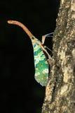 Lanternflies of Lantaarninsecten of fulgorids Royalty-vrije Stock Fotografie