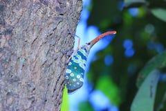 Lanternflies or Lantern Bugs or fulgorids Royalty Free Stock Photo