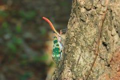 Lanternflies or Lantern Bugs or fulgorids Royalty Free Stock Photos