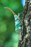 Lanternflies or Lantern Bugs or fulgorids Royalty Free Stock Photography