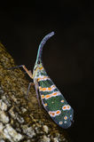 Lanternflies. Lanternfly (Pyrops spinolae), the insect on tree Stock Photography