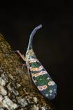 Lanternflies Stock Photography