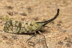 Lanternflies pluskwa Zdjęcie Royalty Free