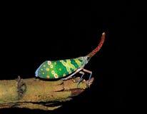 lanternfly亚洲五颜六色的昆虫泰国 库存图片