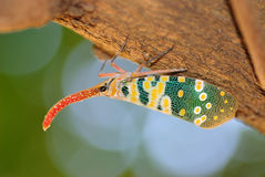 Lanternfly Стоковое фото RF