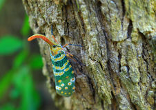 Lanternfly colorful insect ,Asian Thailand Royalty Free Stock Images