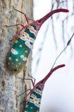 Lanternfly, het insect op boom stock afbeelding