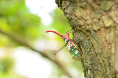 Lanternfly Royalty Free Stock Photo