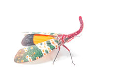 Lanternfly, the insect on tree fruits Stock Photo