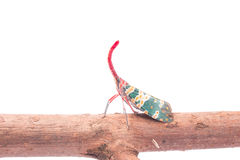 Lanternfly, the insect on tree fruits Stock Photos