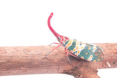 Lanternfly, the insect on tree fruits Royalty Free Stock Photo