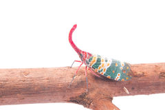 Lanternfly, the insect on tree fruits Stock Images