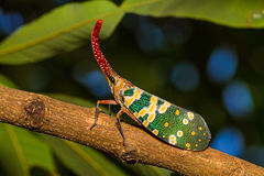 Lanternfly, the insect on tree in tropical forests Stock Photos