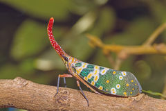 Lanternfly, the insect on tree in tropical forests Royalty Free Stock Photos