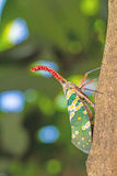 Lanternfly, the insect on tree in tropical forests Royalty Free Stock Images
