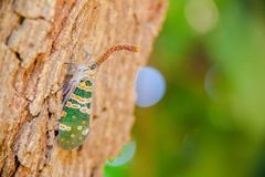 Insect on the tree. Lanternfly, the insect on tree in tropical forests on natural light royalty free stock image