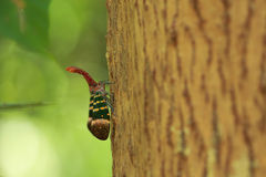 Lanternfly, the insect on tree. Two lanternfly overlapping each other on tree Stock Images