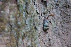 Lanternfly (Laternenwanzen) Lizenzfreie Stockfotos