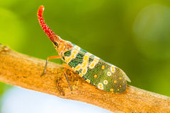Lanternfly, o inseto na árvore em florestas tropicais foto de stock