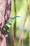 Lanternfly. Stock Images