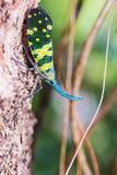 Lanternfly. Royalty Free Stock Image