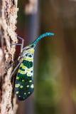Lanternfly. Royalty Free Stock Photos