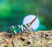 Lanternfly Royalty Free Stock Image