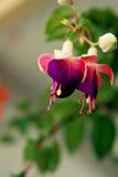 Lanternlike dzwonkowego kształta kwiat Zdjęcie Royalty Free