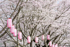 Lanterns and cherry blossoms Stock Photo