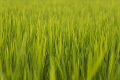 lantgård över ricesolnedgång Fotografering för Bildbyråer