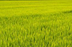 lantgård över ricesolnedgång Royaltyfri Bild