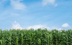 Lantgård för äng för gräsplan för havrefält och blå himmel Royaltyfria Bilder