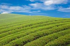 Lantgård för grön tea Royaltyfri Fotografi