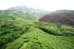 Lantgård för grön tea Royaltyfri Foto