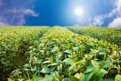 Lantgård för grönt te. Royaltyfria Bilder
