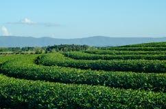 Lantgård för grönt te och blå himmel Arkivfoto