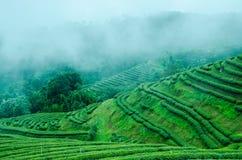 Lantgård för grönt te på moutain Arkivbilder