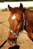 Lantgård för häst Head Royaltyfria Bilder