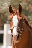 Lantgård för häst Head Royaltyfri Foto