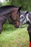 Lantgård för häst Head Arkivbilder