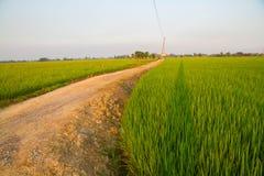 Lantgård för irländarejasminris i Thailand Royaltyfri Fotografi