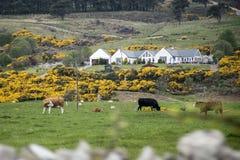 Lantgård för koflock på gröna gras i Skottland Royaltyfri Fotografi
