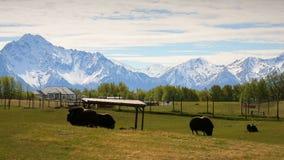 Lantgård för myskoxe i Alaska lager videofilmer