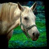 Lantgård för vit häst Royaltyfri Bild