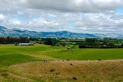 Lantgård i Nya Zeeland med att beta nötkreatur arkivfoton