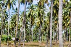 Lantgård Kokospalmer Palawan ö Arkivfoto