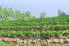 Lantgård och berg för jordgubbeterrasskoloni med bakgrund för blå himmel royaltyfri fotografi